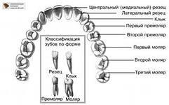 зубы названия